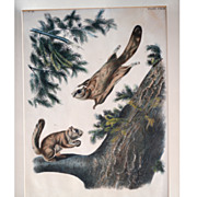 Original Audubon Imperial Folio or Elephant Folio Flying Squirrel