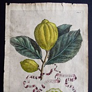 SALE Antique Engraving of Citrus Fruit 1646 from Hesperides sive, De Malorum Aureorum