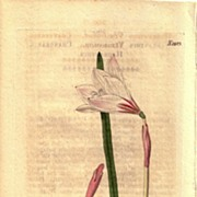 Lovely Engraving from William Curtis BOTANICAL MAGAZINE