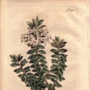 REDUCED Lovely Engraving from William Curtis BOTANICAL MAGAZINE