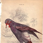 19th Century Engraving by Lear & Lizars, Pigeon
