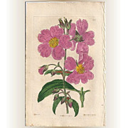 REDUCED Original Hand-Coloured Copperplate Botanical Engraving, Syd Edwards