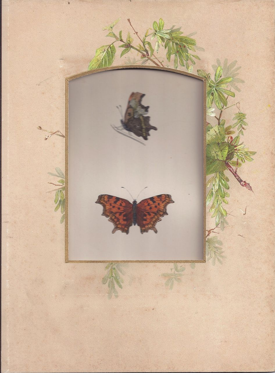 Colored Plate MORRIS Butterfly Book, COMMA, Photo Album Mat