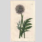 Lovely CURTIS Botanical Print circa 1824 Echinops Strictus