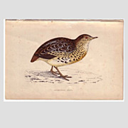 REDUCED Bird Print from Natural History Book Andalusian QUAIL
