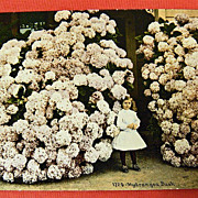Vintage Postcard -  Little Girl and a HUGE Hydrangea Bush - UNUSED