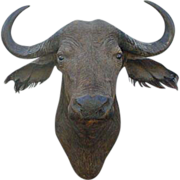 African Cape Buffalo Head Mount