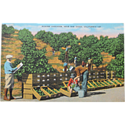 SALE Picking Avacados San Diego California Vintage NOS New Old Stock Postcard