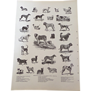 "SOLD Breeds of Dogs Engraved Monochrome Print 1900 12"" x 8. 1/2"""