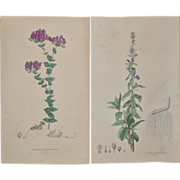 REDUCED Pair of 19th Century Hand Colored Botanical Lithographs