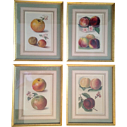 A Set of Four Vintage Fruit Prints of Peaches and Apples, Beautifully Matted and Framed!