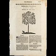 REDUCED 17th C Woodcut Botanical Engraving by Mattioli China Tree Xilograph