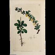 3 Original  Ridgeway Botanical Engravings #7