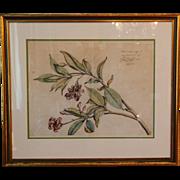 "SOLD 17th century Original Botanical Plant Illustration / Engraving from ""Hortus Malabari"