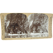 -SCARCE- 1902 Antique stereoview by Lingley, REDWOODS, Calaveras Grove California