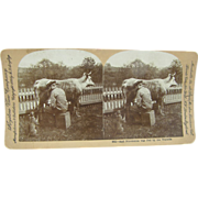 1899 Antique stereoview by Lingley, milking cow, squirting cat