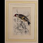 1830's Steel Engraving of a Goldfinch by Wm. Lizars (Sir William Jardine)