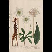 18th Century Floral Copper Engraving of Christmas Rose / Black Hellebore - Herbarium of ...