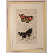 1830's Steel Engraving of two Butterflies - Peacock Butterfly and Camberwell Beauty by Wm. ...