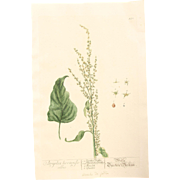 18th Century Floral Copper Engraving of Garden Orache or Mountain Spinach out of the Herbarium