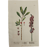 18th Century Floral Copper Engraving of Thymelaea laureola out of the Herbarium of ELIZABETH .