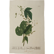 18th Century Floral Copper Engraving of Hops out of the Herbarium of ELIZABETH BLACKWELL ...