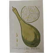 18th Century Floral Copper Engraving of Calabash or Bottle gourd out of the Herbarium of ...