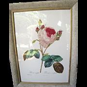 P J Redoute Aqua-tinted Lithograph in Custom Frame,1954, Rosa Centifolia