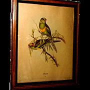 Barnards Parakeet Print by John Gould