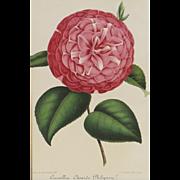 SALE Philipson Camellia