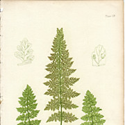 SALE Bradbury Fern Botanical Print- Cystopteris Regia
