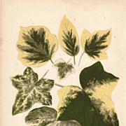 Lowe Beautiful Leaved Plants Botanical Print- Hedera