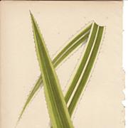 Lowe Beautiful Leaved Plants Botanical Print- Pandanus