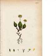 Sowerby Botanical Print- CXXXVIII- Yellow Alpine Whitlow-Grass