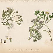 SALE Sowerby Botanical Print- XXII