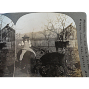 Great Stereoview of Girl Riding Pig, Another Pig Has Nursing Piglets