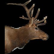 Huge Statement Making Mounted 12 Point Elk Head Hunting Trophy
