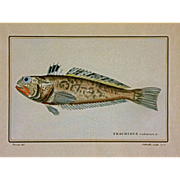 Antique Color Fish Etching by Werner & Schmelz after Cuvier's Histoire Naturelle des Poissons