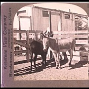 Keystone Stereo View Animals--Donkeys in a Barnyard - Keystone View