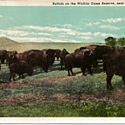 Postcard of Buffalo on the Wichita Game Reserve near Lawton Oklahoma