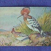Old Hoopoe Postcard from Europe