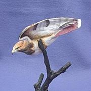 SOLD Royal Worcester Bronze & Porcelain Red-tailed Hawk