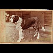 SALE Antique Cabinet Photograph ~ Saint Benard Dog