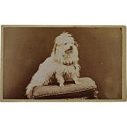 SALE Antique CDV Photograph ~ Sweet Maltese Dog