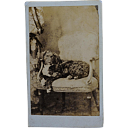 SALE Antique CDV Photograph ~ Curly Haired Dog