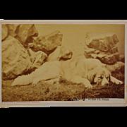SALE Antique Cabinet Photograph ~ St. Bernard Dog