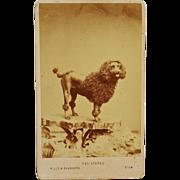 SALE Antique CDV Dog Photograph ~ Large Poodle