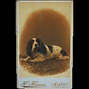 SOLD Antique CDV Dog Photograph ~ Recumbent Spaniel