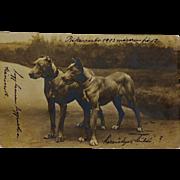 SALE Antique Dog Postcard ~ Pair Great Danes C1903