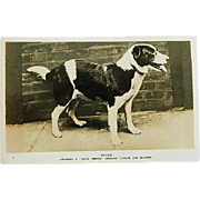 "SALE ""Peter Of Stafford"" Daily Mirror Gugnunc Collar For Brave Dogs Postcard"